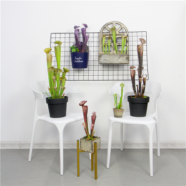 indoor setting of artificial pitcher plants