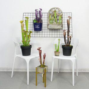 sunwing artificial pitcher plants new