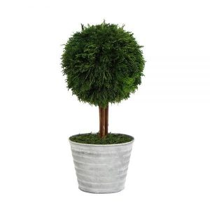 Preserved Ball Topiary with Terracotta Pot